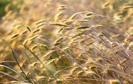 Dry grass in the field.