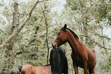 Close up of two wild horses in the forest during a...