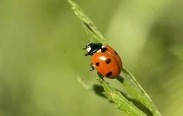nyckelpiga! ladybug