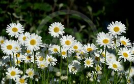 Meadow with daisies.