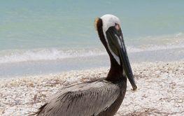Pelican in Florida