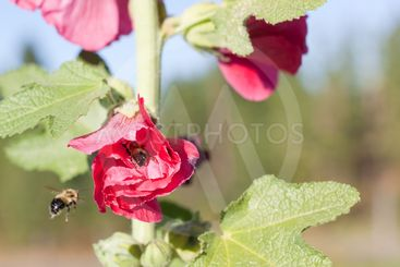 Sleeping Bumble Bee