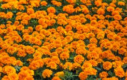 Natural meadow of orange marigold flowers also known as...