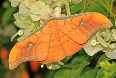 Silk Moth (Antheraea frithi)