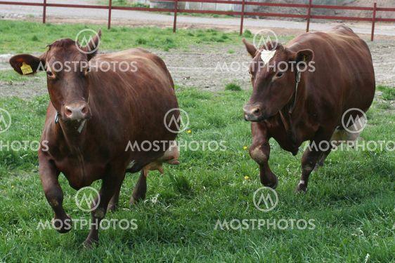 Kor på språng