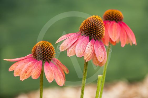 pink echinacea on green background in a...