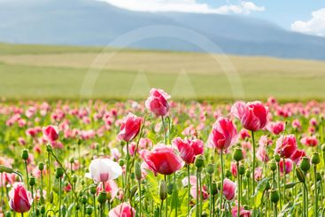 Pink blooming poppy, huge field of blossoming flowers