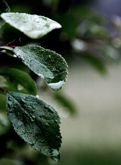Plum Leaves