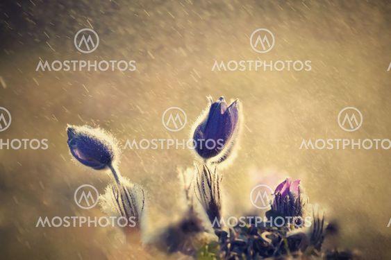 Purple pasqueflowers (Pulsatilla grandis) in the rain...