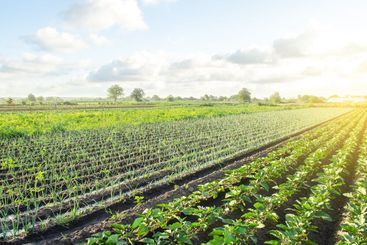 Green leek onion plantation. Agroindustry and...