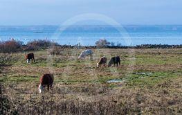 Kor betar i en kustnära betesmark på Öland