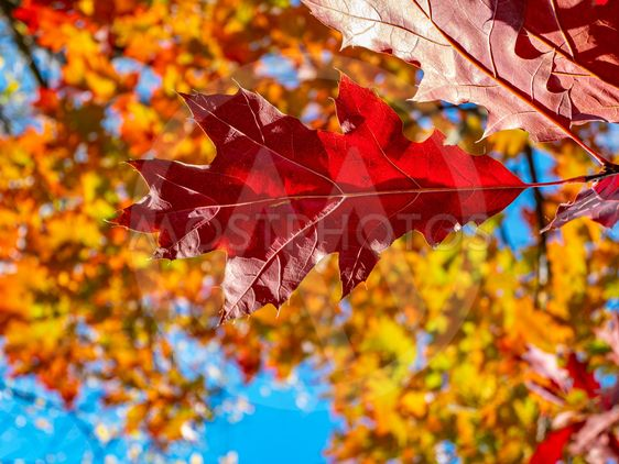 Red autumn oak leaves against the blue sky.