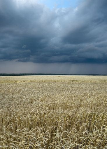 wheat field and thundercloud