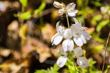 Close up of White blue eyed Mary (Collinsia...