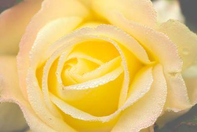 Rose Dew Yellow I