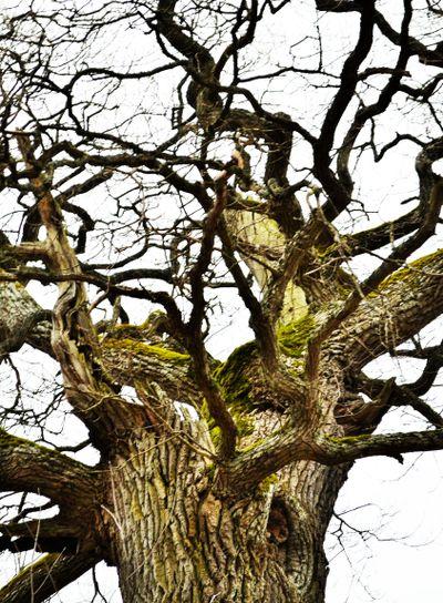 Gammalt träd