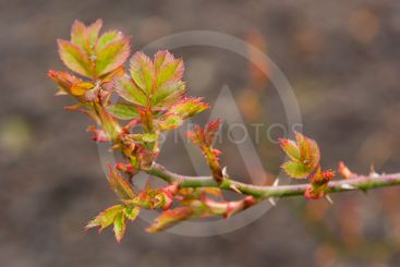 Stem and leaf roses