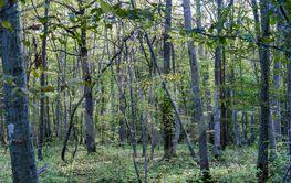 Avenbokskog med fina färger