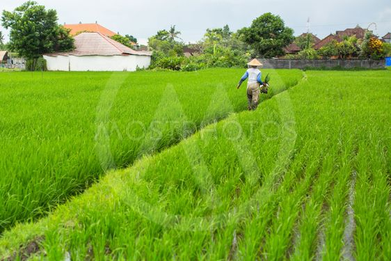 Farmer in a rice field, Indonesia.