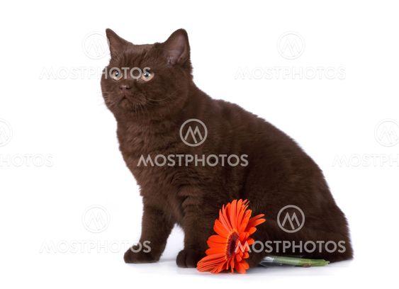 Den britiske kat
