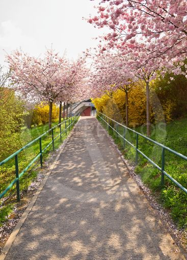 A spring road with blooming trees in sunset.