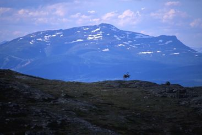 reindeer on the mountain