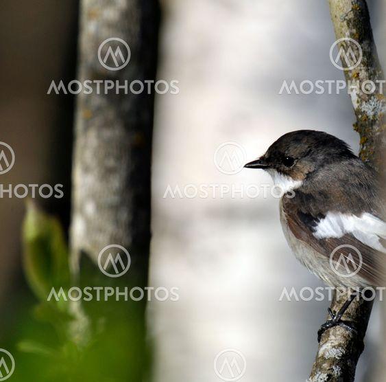 Pied flycatcher meditation - Svartvit flugsnappare mediterar