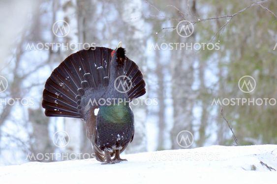 Capercaillie /Wood Grouse (Tetrao urogallus)