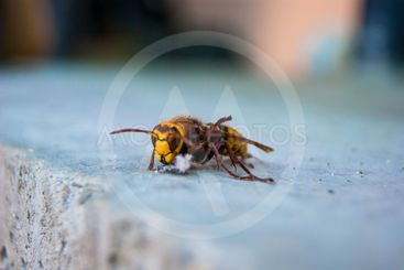 Wounded Hornet on Concrete Slab