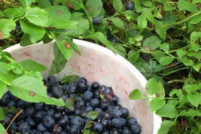 blåbärsskörd