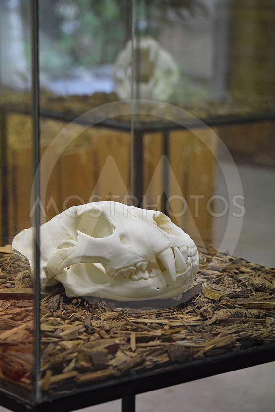 Tiger skelett