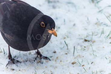 Koltrast på snö