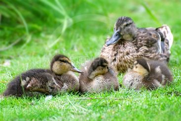 duck and little ducklings