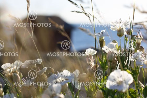 Almanacka 2020 Juni - Smällglim i kustmiljö - Silver