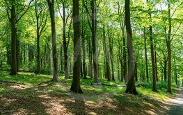 Bokskog i försommargrönska
