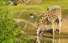 Nubian giraffe standing at the water side drinking some...