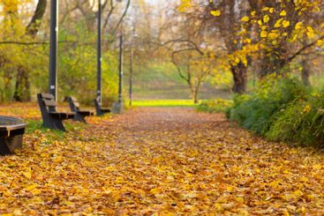 Panoramic view of bright yellow autumn trees in the park
