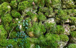 Gammal stenmur täckt av grön mossa i Ölands mittlandsskog
