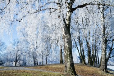 Frosty trees.