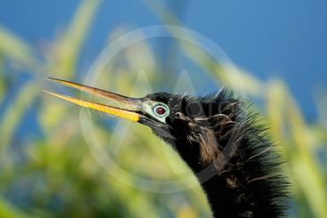 Portrait of male Anhinga in breeding colors