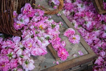 Flower bed of beautiful blooming pink roses flowers