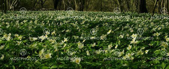wood anemones 2