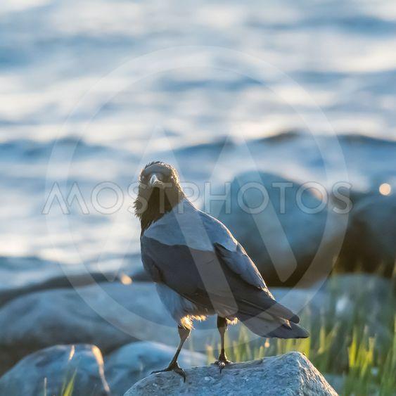 Kråka tittar från sin sten på stranden