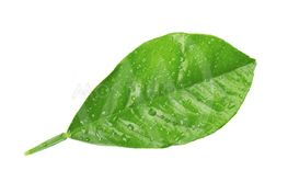 Lemon leaves with drops isolated on white background....
