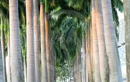 Walk Among the Palms