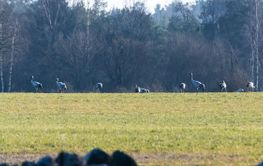 En flock rastande tranor