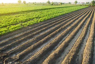 Landscape of a farm plantation field. Juicy greens of...