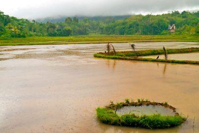 Flooded Rice plantation