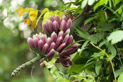 purple bananas on tree
