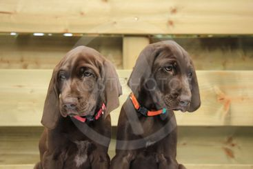 German Shorthaired Pointer Sisters